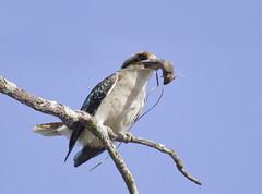 Laughing Kookaburra (boombana) Tags: kingfisher kookaburra 2016 dacelonovaeguineae laughingkookaburra dacelo