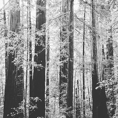 A cold wind was blowing from... (szellner) Tags: travel trees blackandwhite bw nature monochrome forest blackwhite hiking exploring monochromatic adventure explore got redwoods bigbasin naturelovers gameofthrones hikingadventures uploaded:by=flickstagram instagram:photo=11648290085310050631442850998