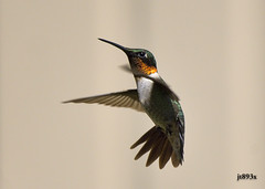 Ruby-throated Hummingbird Male (jt893x) Tags: male bird nikon hummingbird sigma d500 bif rubythroatedhummingbird archilochuscolubris nikond500 150600mm sigma150600mmf563dgoshsms jt893x