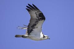 Ft Bragg 1 (dcnelson1898) Tags: california bird animal northerncalifornia outdoors photography coast nikon highway1 pacificocean raptor hunter osprey fortbragg mackerricherstatepark mendocinocounty