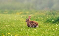 A lonely rabbit (OSDGmakesPics) Tags: rabbit green field grass fog rabbits