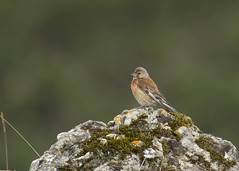Linotte mlodieuse (JFB31) Tags: cardueliscannabina commonlinnet linottemlodieuse fringillids passriformes