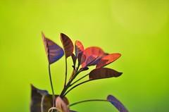 dettagli (ecordaphoto) Tags: verde nature foglie nikon zoom foglia dettagli rosso boken dx 55300 d5100