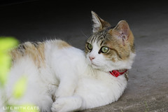 4T4A2665 Calico Japanese cat  (SORO 556 by ENJOY DESIGN) Tags: animal cat calico    japanesecat