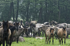 Mustangs and Wild Horses - 2016-0020_Web (berni.radke) Tags: horse pony mustang pferd nordrheinwestfalen colt wildhorse foal fohlen croy herde dlmen feralhorses wildpferdebahn merfelderbruch merfeld przewalskipferd wildpferd dlmenerwildpferd equusferus wildpferdefang dlmenerpferd dlmenpony herzogvoncroy wildhorsetrack