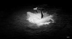 orque (lafargenicolas) Tags: travel light sea wild seascape art nature photo photographie noiretblanc animaux vagues orc sauvage baleine orque lafoto paulard