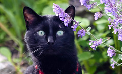Caught in Action (beverlyks) Tags: cat garden kitty catmint