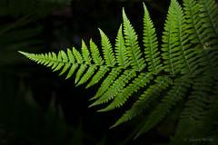 Young & Beautiful (shawn~white) Tags: plant fern green wales spring unitedkingdom gb penglais shawnwhite fujifilmxt10