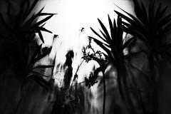 (formwandlah) Tags: city flowers light urban bw white abstract black window strange silhouette night contrast dark blackwhite high noir gloomy darkness pentax nacht candid silhouettes blumen sw gr monochrom sureal ricoh kaiserslautern abstrakt thorsten prinz melancholic bizarr skurril silhouetten melancholisch milchglas formwandlah