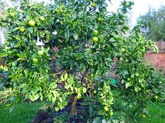 Citrus in my garden - winter check (Sandy Austin) Tags: newzealand auckland northisland citrus tangelo massey inmygarden westauckland sandyaustin panasoniclumixdmcfz70