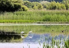 Leighton Moss (robin denton) Tags: lake birds birdofprey waterscape spoonbill rspb leightonmoss rspbreserve