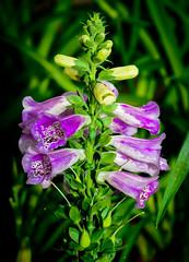 Foxglove (jhambright52) Tags: macro foxglove digitalispurpurea macroflowers doublefantasy plantaginaceae floralfantasy purplefoxglove commonfoxglove macrofoxglove