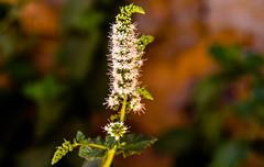 Mentha sp. (Lil d'un Naturaliste) Tags: algeria saad algrie sidi mentha laghouat gueltat