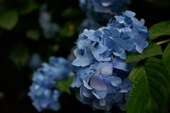 Hydrangea at Yatadera temple  (Crystalline Radical) Tags: blue flower rain japan dark temple  hydrangea nara      yatadera