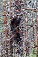 goloso trepando (barragan1941) Tags: wolverine finlandia goloso plantigrados
