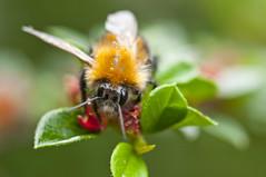 Look into My Eyes (kevinwolves) Tags: bee insect nature wildlife kevinwolves macro closeup nikon nikond300 nikkor105mmf4