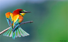 Gruccione (fausto.deseri) Tags: beeeater meropsapiaster gruccione wildlife birds nature wild parcolungoreno nikond7100 nikkorafs300mmf28dii nikontc17eii faustodeseri