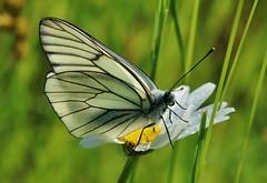 Backlit (Hugo von Schreck) Tags: macro butterfly insect outdoor makro insekt schmetterling aporiacrataegi greatphotographers baumweisling tamron28300mmf3563divcpzda010 canoneos5dsr hugovonschreck
