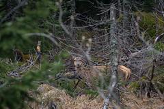 Aware (Molnar Gabor) Tags: red wild animal forest mammal poland deer animalia mammalia zakopane pl rotwild cervus elaphus maopolskie 70300vr d5200