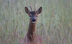 Wild Roe Deer Buck (EmPhoto.) Tags: britishwildlife canon70d tamron150600mm nature wildlife emmiejgee roedeer buck indiginousspecies wild roebuck capreoluscapreolus eastyorkshire