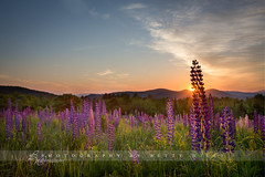 Sugar Hill Sunrise (betty wiley) Tags: sun nature floral sunrise newengland newhampshire burst lupine sugarhill bettywileyphotography