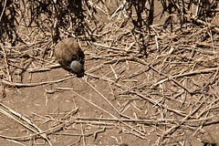 Beetle, Dung 9-1 (Grete Howard) Tags: golkopjes kopje serengeti tanzania safari safariinafrica bestsafarioperator bestsafaricompany whichsafaricompany whichsafarioperator animals animalphotos animalsofafrica africa africansafari africanbush africananimals animal birds birdwatching birding gamedrive