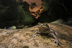 Toad on a Dark Night (antonsrkn) Tags: cane toad rhinella marina herp wildlife peru cordillera escalera sanmartin tarapoto river long exposure nikon nikkor wideangle amphibian frog herpetology sky forest clouds cloudy outdoors nature natural wild animal biology biodiversity rock rocky boulder night dark