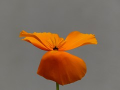 Poppy Art (Christa_P) Tags: orange flower nature garden flora blossom outdoor blumen blte garten