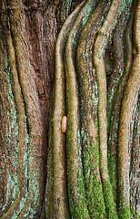 Slug and tree trunk detail (II) (Modesto Vega) Tags: tree monochrome iso800 blackwhite nikon treetrunk d600 treetrunkdetail