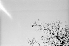 Buteo Buteo (Toffee Maky) Tags: autumn sky tree bird fall film nature animal analog 35mm blackwhite prague mju olympus analogue expired buteobuteo compact fomapan100 commonbuzzard olympusmju  olympus olympusmjuzoom filmcompact vahov olympuszoom toffeemaky