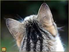 There's a bird up there! (fotograf1v2) Tags: pet animal feline headshot millie birdwatching backview tabbycat
