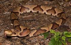Copperhead (commercialam3n) Tags: macro nature field zeiss forest canon rebel reptile snake snakes herpetology copperhead herping t5i