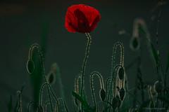 poppy in green (thomas.reissnecker) Tags: flowers red flower green poppy poppies