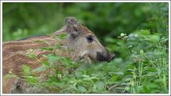 beaucoup trop près!!! (guiguid45) Tags: nature nikon animaux forêt sauvage loiret sangliers mammifères 500mmf4 d810 marcassins forêtdorléans