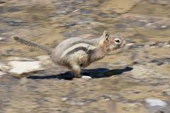 DSC_0619 (J F Wolford) Tags: park canada wildlife national alberta banff morainelake