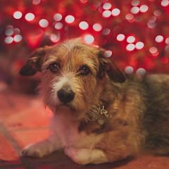 bookeh dog (Kristina Noir) Tags: dog basset bokeh canine mutt pet terrier
