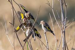 AG7O0084-1.jpg (jlgad05) Tags: bird oiseau cardueliscarduelis europeangoldfinch chardonneretlgant fringillids passriformes