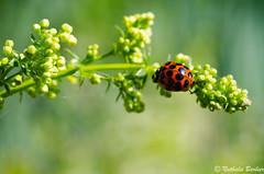 N_20110515_011.jpg (NATHALASSA) Tags: ladybug coccinelle