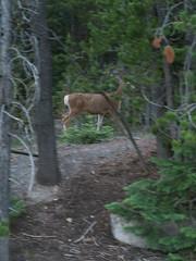 Yellowstone (sonofmidnight@att.net) Tags: nationalpark deer