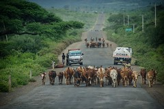 oncoming traffic ... (ddimblickwinkel) Tags: africa street travel portrait people man art car animal cow nikon outdoor surreal portrt afrika mann farmer tribe tamron personen schrfentiefe d300