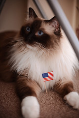 4th of July (Mark Liddell) Tags: blue red usa pet white black cute animal cat stars carpet star scotland us bedroom eyes chair mask boots bokeh glasgow stripes flag united banner 4th july alf whiskers gloves american states paws 4thofjuly fourth independenceday ragdoll mane spangled pedigree sealpoint colourpoint