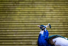 the Peacock of Judging you... (Bart Ros) Tags: travel blue wild white bird eye beautiful animal animals yellow closeup fuji close wildlife feathers feather peacock fujinon