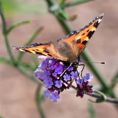 Kleiner Fuchs (ustrassmann) Tags: butterfly garden sommer summertime makro insekt garten schmetterling nektar staude makrofotografie
