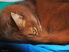 Caithlin watching me - Explored 05.07.2016, #351 (Finn Frode (DK)) Tags: pet cats eye animal cat bed sleep indoor olympus som somali somalicat caithlin omdem5 dusharacathalcaithlin