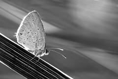 btfl in bw (zoomyboy.com) Tags: blackandwhite macro butterfly bokeh makro schwarzweiss schmetterling sonya77 tamron180mm35