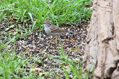 Chipping Sparrow (ivoryblushroses) Tags: birds colorado sparrow chipping