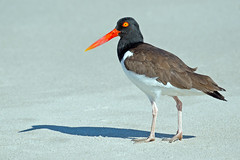 American Oystercatcher (Brian E Kushner) Tags: park new birds animals point nikon state wildlife may nj jersey oystercatcher cape capemaypoint capemay oyster catcher afs d800 birdwatcher americanoystercatcher haematopuspalliatus 80400 f4556 vrii nikond800 bkushner brianekushner nikon80400mmf4556gedvrafs