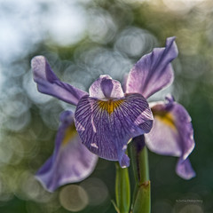 Iris (stephencurtin) Tags: iris shadow usa flower color colors yellow nikon purple natural photograph stalk boken d600 unanimous thechallengefactory thepinnaclehof tphofweek203