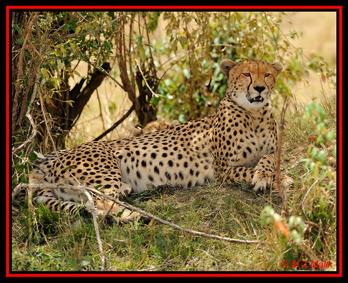 FEMALE CHEETAH (Acinonyx jubatus).....MASAI MARA....OCT 2012.