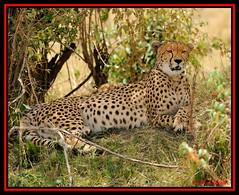 FEMALE CHEETAH (Acinonyx jubatus).....MASAI MARA....OCT 2012. (M Z Malik) Tags: africa nikon kenya wildlife ngc safari cheetah masaimara keekoroklodge d3x naturesharmony flickrbigcats exoticafricancats exoticafricanwildlife 200400mm14afs vigilantphotographersunite vpu2 vpu3